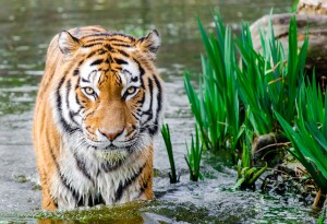 tiger fear