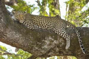 simply awake leopard